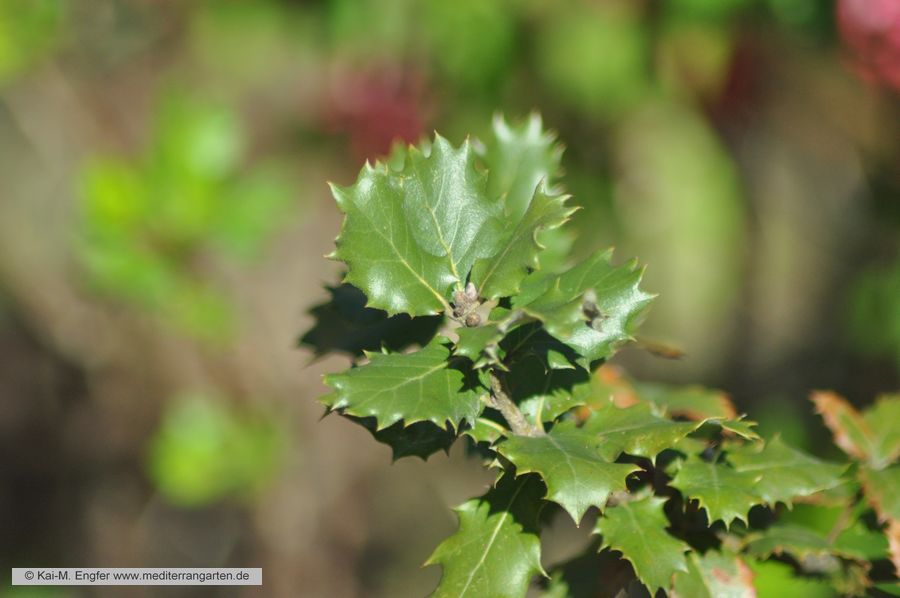 quercus-coccifera-11-04-2016-1