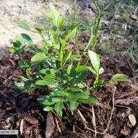 poncirus-trifoliata-26-03-2016-1