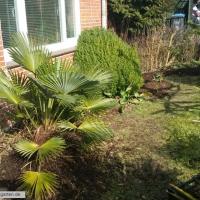 trachycarpus-wagnerianus-12-03-2016-2