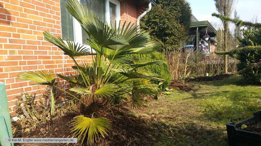 trachycarpus-wagnerianus-12-03-2016-1