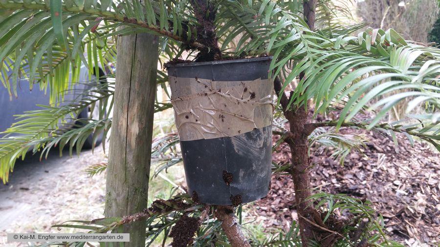 wollemia-nobilis-vermehren-abmoosen-13-03-2016-2