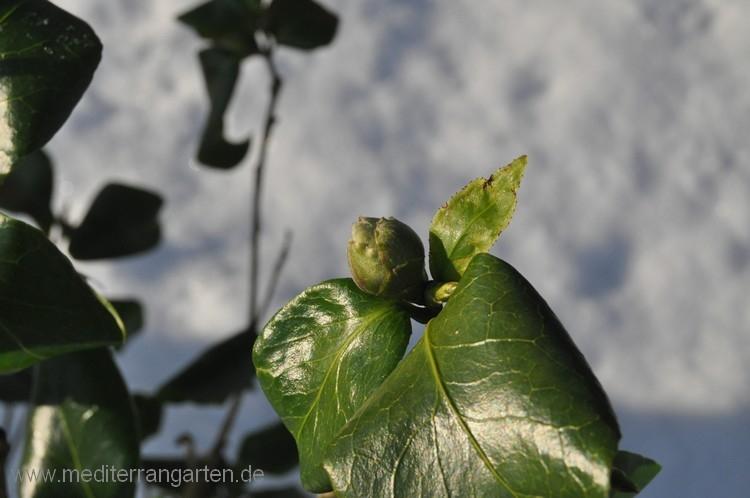 kamelie-05-01-2012