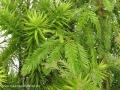 23-03-2013-sequoia-und-angustifolia