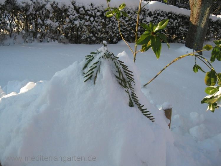 wollemia-im-schnee