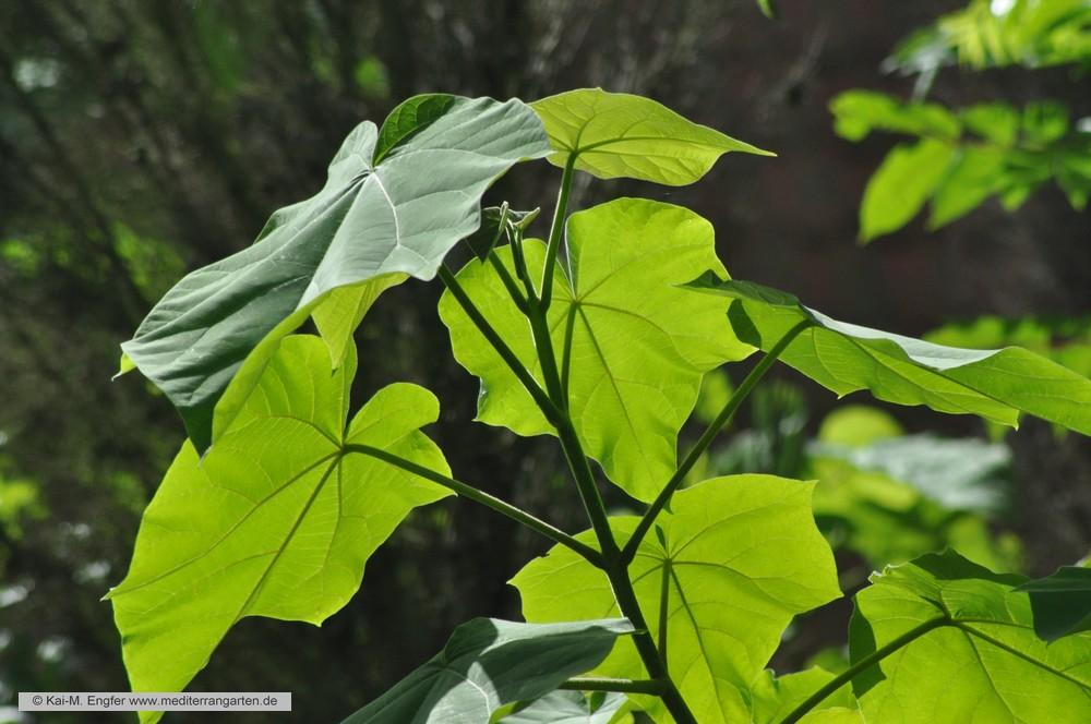 paulownia-tomentosa-sommer-2015-3