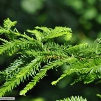 sequoia-sempervirens-immergruener-mammutbaum-sommer-2015-1
