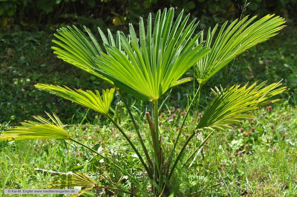 trachycarpus-wagnerianus-22-07-2015-1