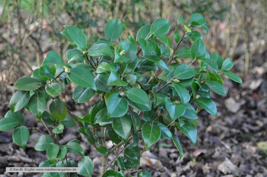 camellia-japonica-04-01-2014