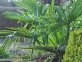 trachycarpus-04-01-2014