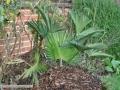 trachycarpus-wagnerianus-04-01-2014