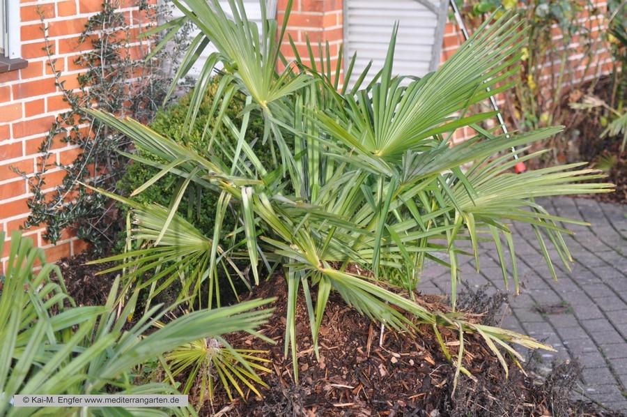 trachycarpus-fortunei-04-01-2014-1