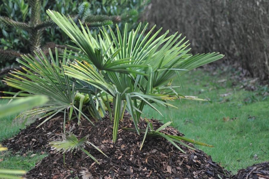 trachycarpus-fortunei-04-01-2014-2