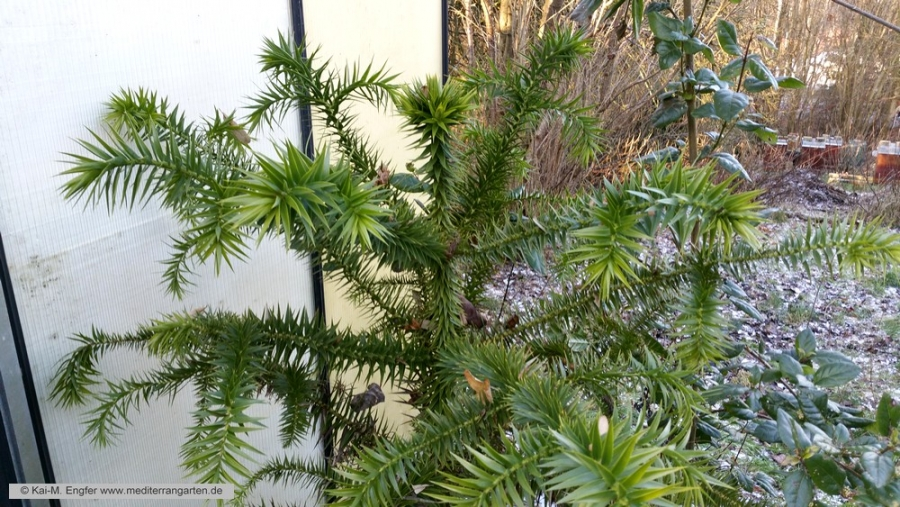 araucaria-angustifolia-17-01-2016