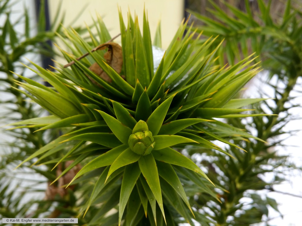 araucaria-angustifolia-23-01-2016-1