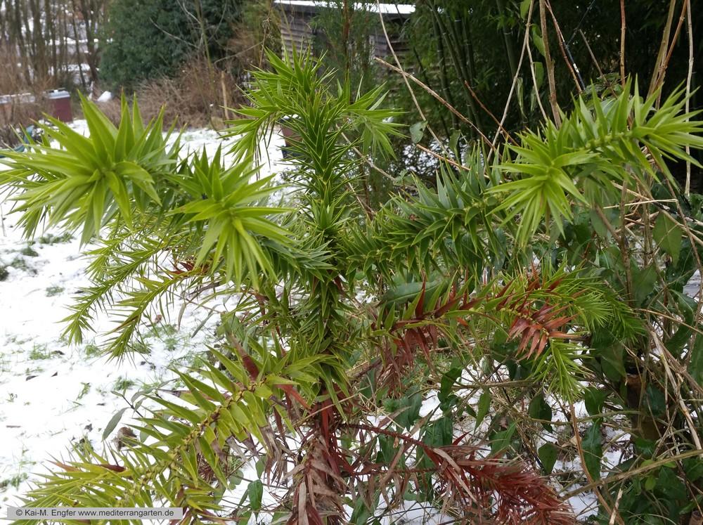 araucaria-angustifolia-23-01-2016-4