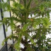 araucaria-angustifolia-23-01-2016-3