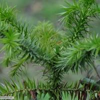 araucaria-angustifolia-31-01-2016-1