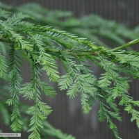 sequoia-sempervirens-31-01-2016-1