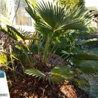 trachycarpus-wagnerianus-17-01-2016-1