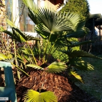 trachycarpus-wagnerianus-17-01-2016-2