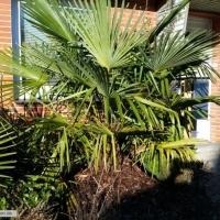 trachycarpus17-01-2016-2