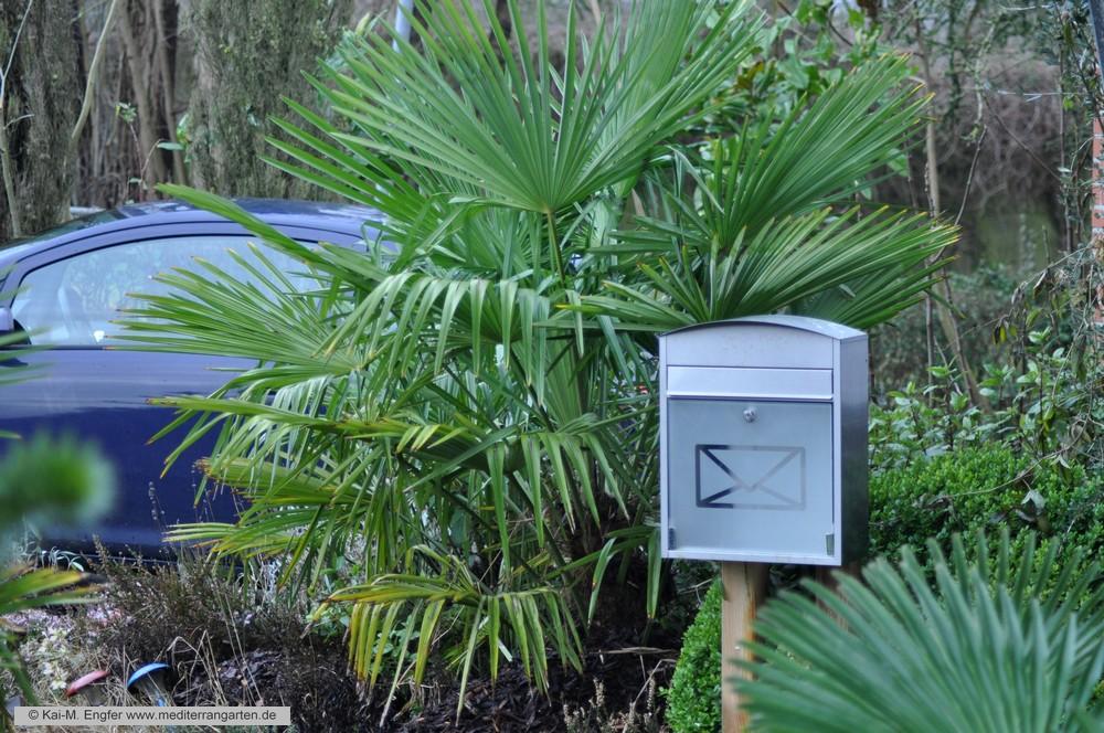 trachycarpus-fortunei-31--01-2016-1