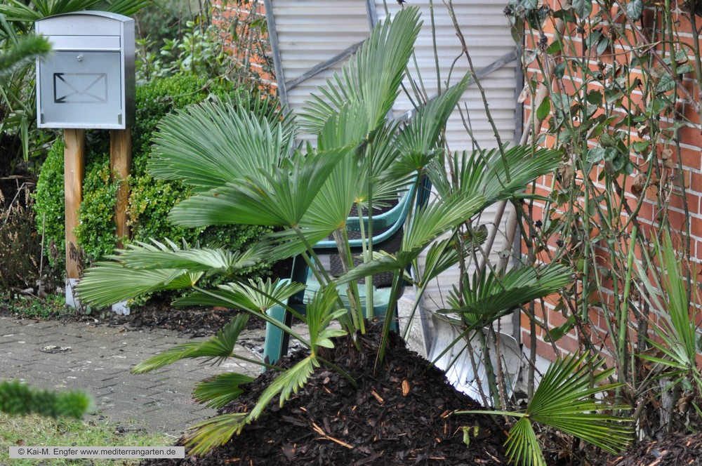 trachycarpus-wagnerianus-31-01-2016-1
