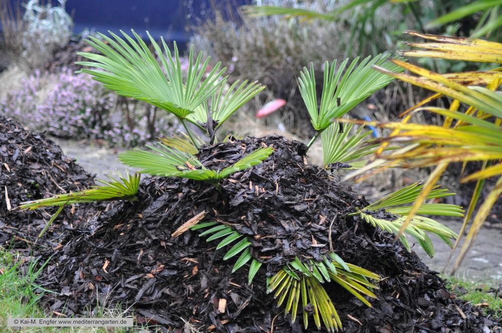 trachycarpus-wagnerianus-31-01-2016-2