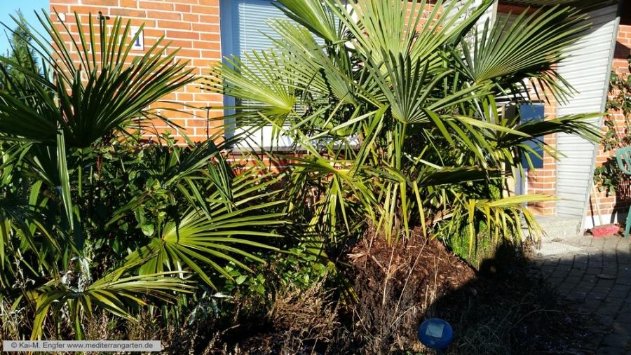 trachycarpus17-01-2016-3