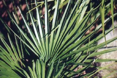 Chamaerops humilis – Die Zwergpalme