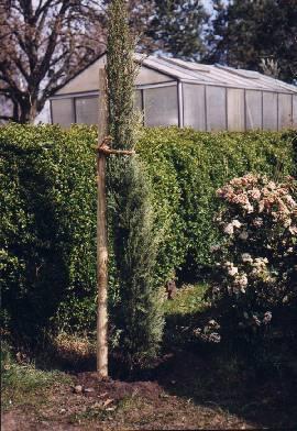 Cupressus sempervirens Die Echte Zypresse