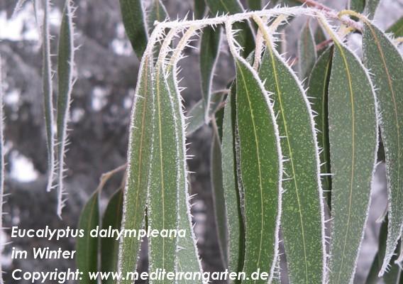 Eucalyptus – Eukalyptusbäume