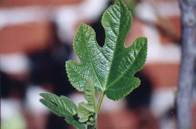 Ficus carica die Echte Feige, Feigenbaum