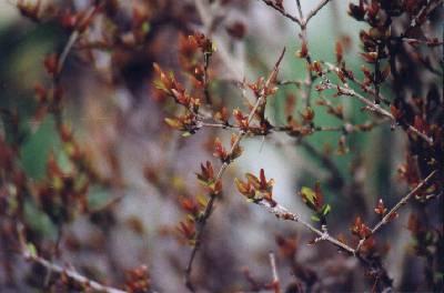 Punica granatum – Granatapfel
