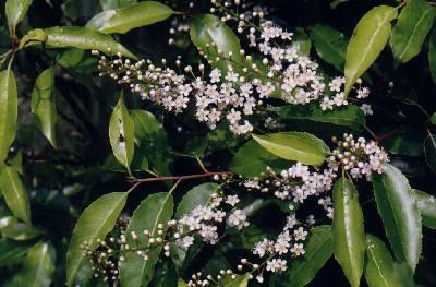 Prunus lusitanica Die Immergrüne Lorbeerkirsche