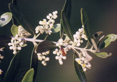 Die Olive – Olea europaea – Olivenbaum