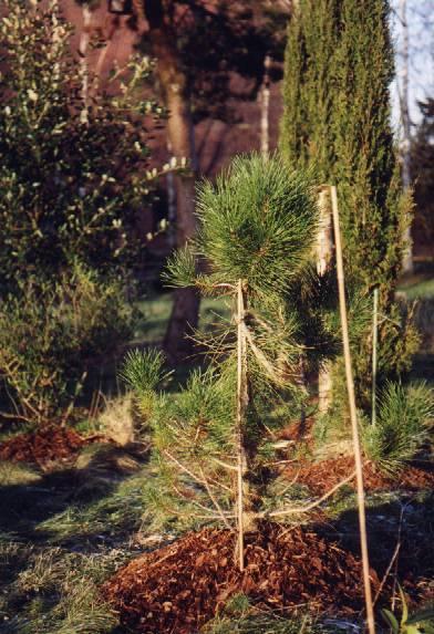 Pinus pinea – Die Pinie
