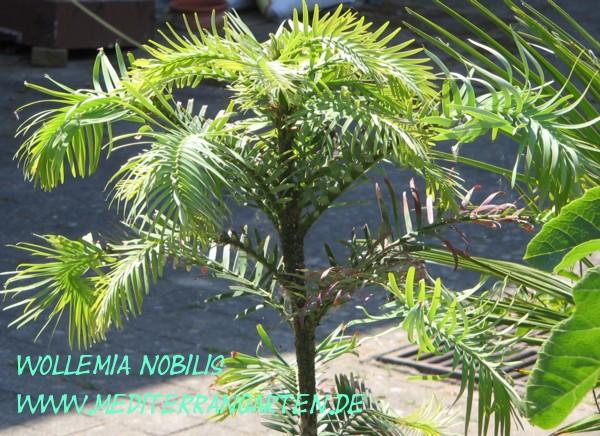 Wollemia nobilis Die Wollemie