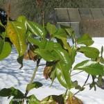 23-03-2013-magnolia